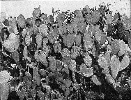 cactus in the tropics vintage engraving