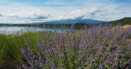 fujisan and lavender field in kawaguchiko
