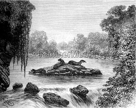 otters busy fishing vintage engraving