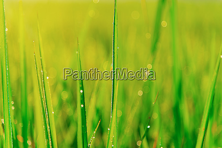 green leaf of rice plant with