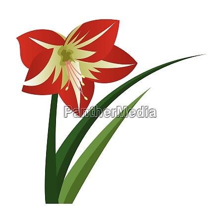 vector illustration of amaryllis flower on
