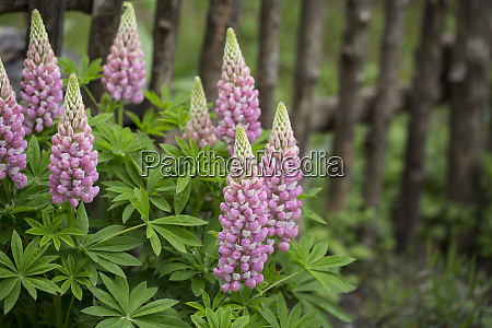 pink lupines in a country garden