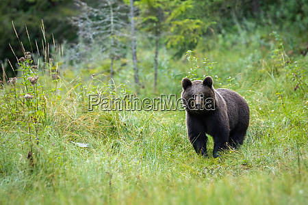 a portraif of brown bear standing
