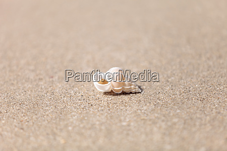 precious wentletrap epitonium scalare shell
