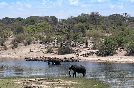 elephants and zebras on boteti river