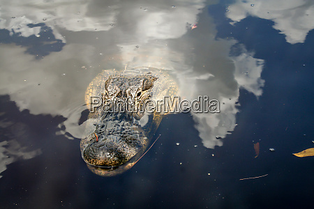 the head of an aligator in