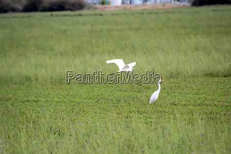 any egrets on a grassy field