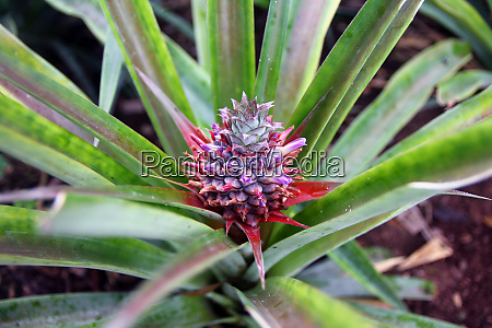 close up of a pineapple in