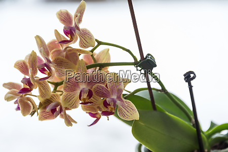 speckled blooming orchid