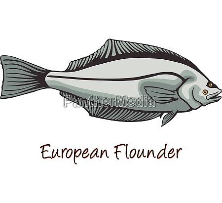 european flounder color illustration