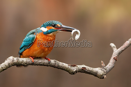 common kingfisher alcedo atthis and the