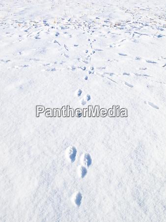 rabbit tracks in the snow