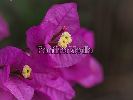 pink bougainvillea inflorescence with yellow flowers