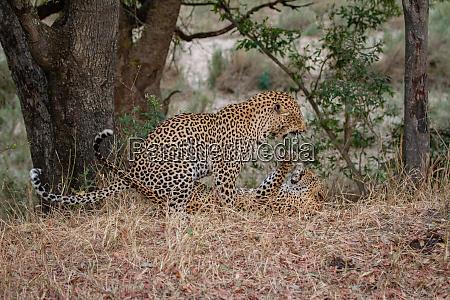a male and female leopard pathera