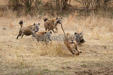 a lioness panthera leo runs with