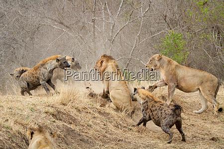 spotted hyenas crocuta crocuta attacking a