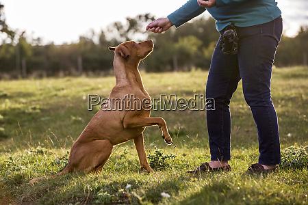 woman training vizla dog with a