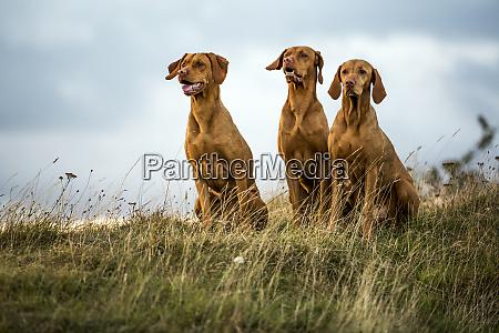 portrait of three vizla dogs sitting