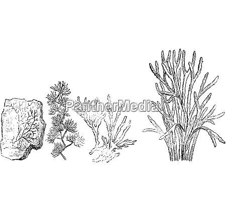 older plants cambrian period vintage engraving
