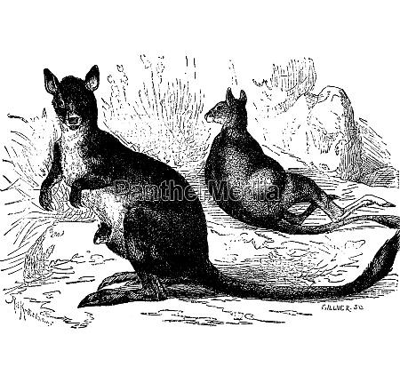marsupials early mammals vintage engraving