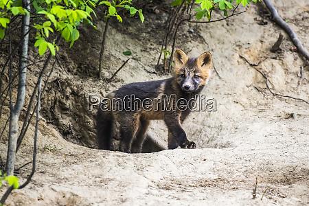 red fox vulpes vulpes kit cross