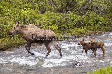 a cow moose alces alces with