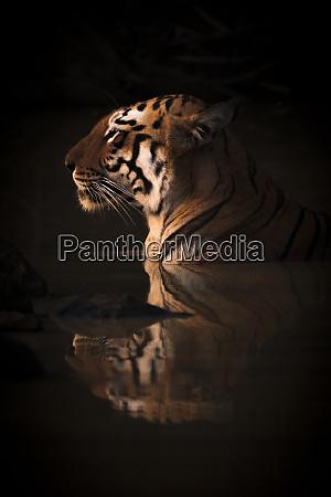 a bengal tigress panthera tigris tigris