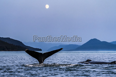 humpback whales megaptera novaeangliae surfacing in