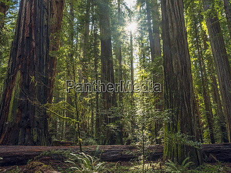 standing in the redwood forests of