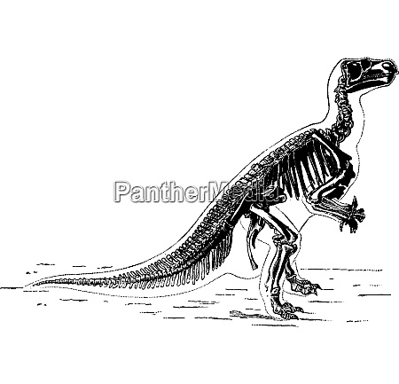 the main skeleton of iguanodon vintage