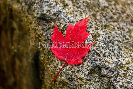 vibrant red maple leaf on a