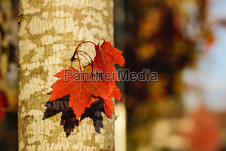 red maple leaves growing from a