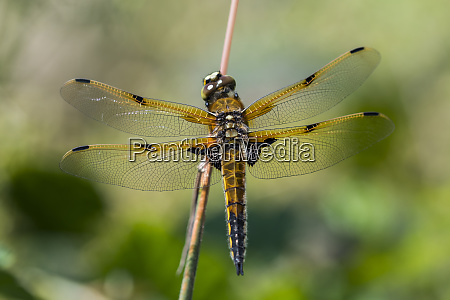 a four spotted skimmer libellula quadrimaculata