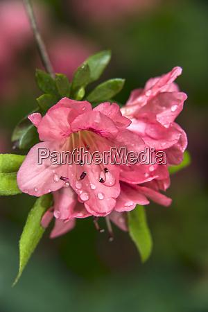 pericat hybrid azaleas rhododendrons mrs fisher