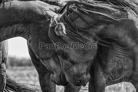 black and white image of horses