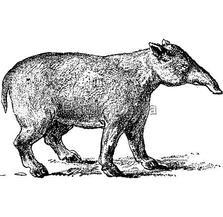 grand palaeotherium vintage engraving