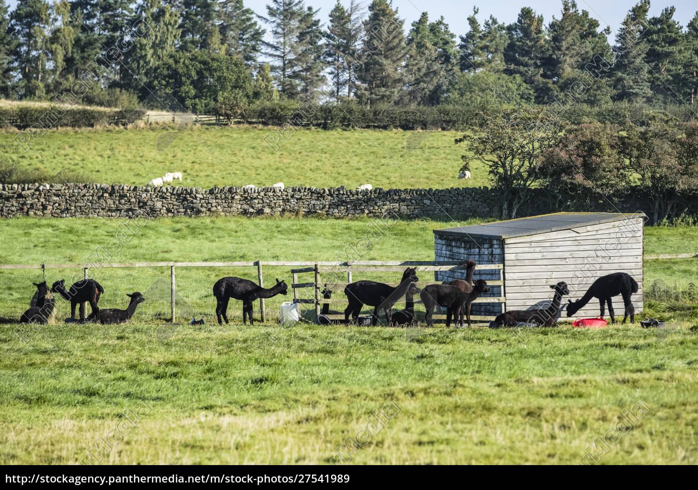 alpacas, (vicugna, pacos), grazing, in, a - 27541989