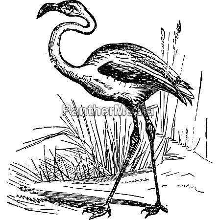 flamingo vintage engraving