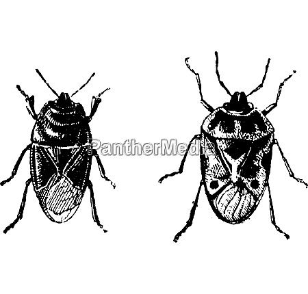 black bug orne bug vintage engraving