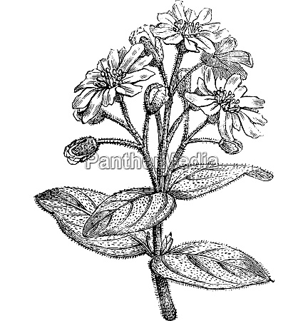 fig 181 boldo or peumus boldus
