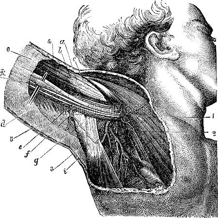 region of the armpit vintage engraving