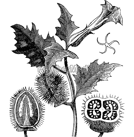 thorn apple or jimson weed or