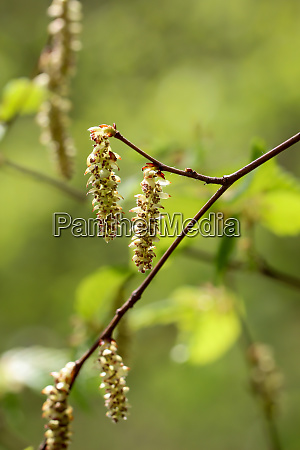 flowers and pollen leaves of the