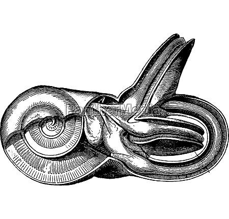 inner ear vintage engraved illustration la