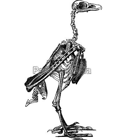 skeleton of a bird vintage engraving