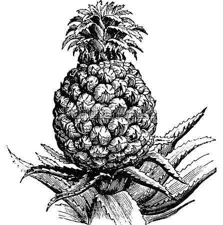 pineapple vintage engraving