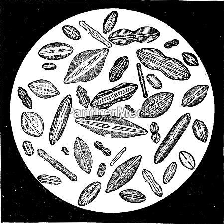 various forms of diatoms vintage engraving