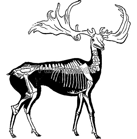 skeleton and probable shape of giant