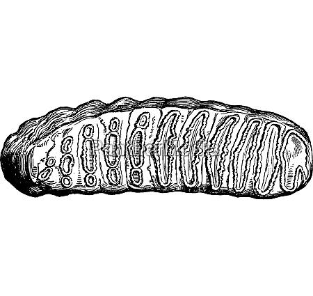 molar tooth of elephas antiquus one