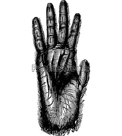 hand of gorilla vintage engraving